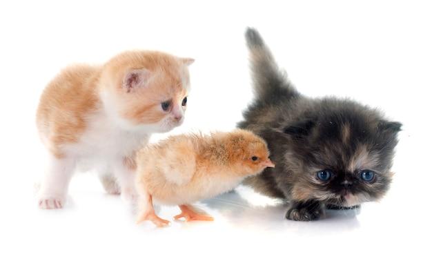 Gattino persiano e pulcino