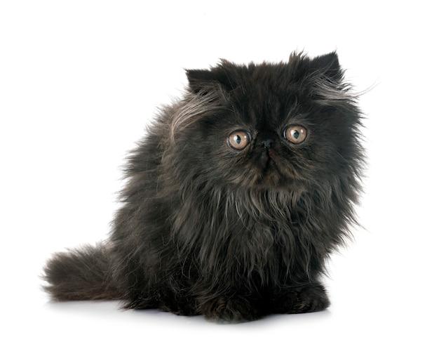 Gattino persiano nero