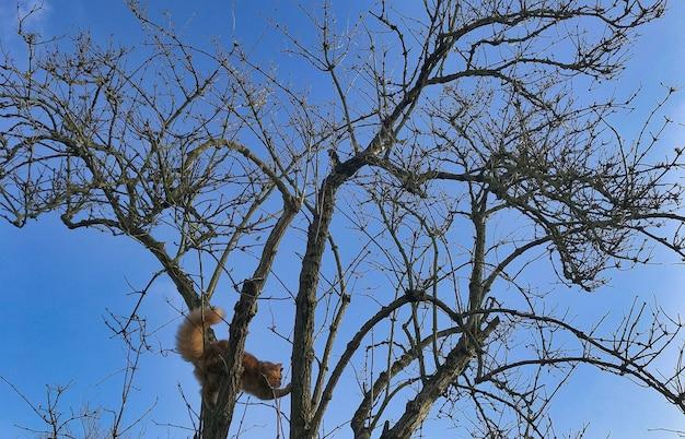 Gattino rosso di maine coon che gioca all'aperto in un albero