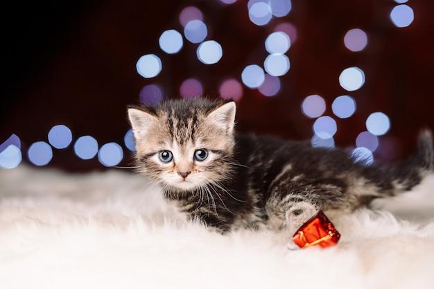 Gattino scozzese carino con sfondo di natale