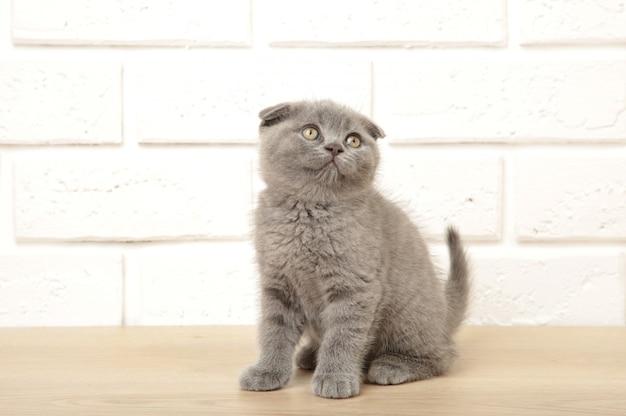 Gattino scozzese grigio su sfondo bianco, ritagliato