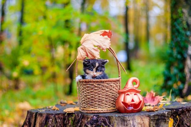 Gattino seduto nel cestino. gattino in una passeggiata in autunno. animale domestico.