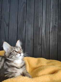 Gattino si trova su un maglione giallo contro un muro nero