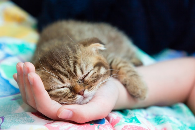 Gattino slcottish dormire su una mano femminile