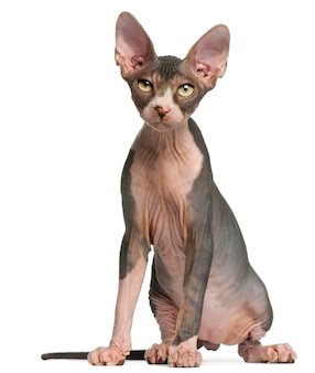 Gattino sphynx (4 mesi), british shorthair (1 anno)