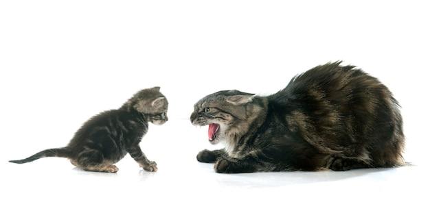 Gattino tabby e gatto