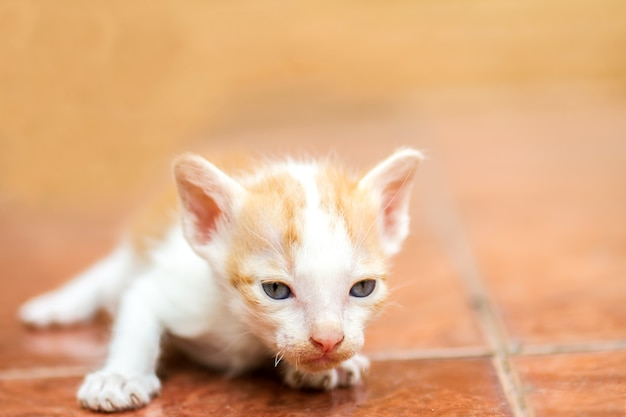 Gattino thailandese carino