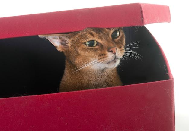 Gatto abissino isolato