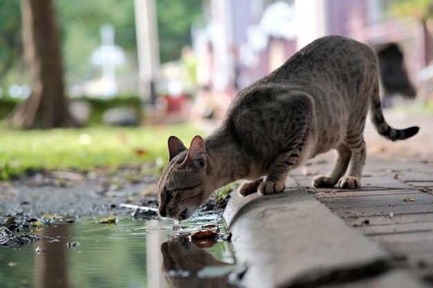 Gatto acqua potabile da una pozzanghera per strada