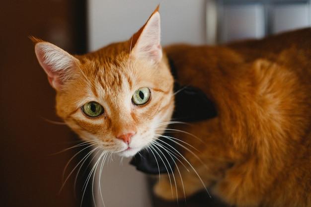 Gatto arancione del bello fronte che esamina macchina fotografica.