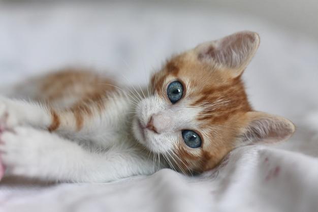 Gatto arancione e bianco del bambino con gli occhi azzurri visti dalla parte anteriore