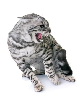 Gatto bengala arrabbiato