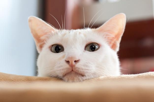 Gatto bianco che si nasconde dietro una stoffa, guarda con sospetto lo scout alla telecamera.