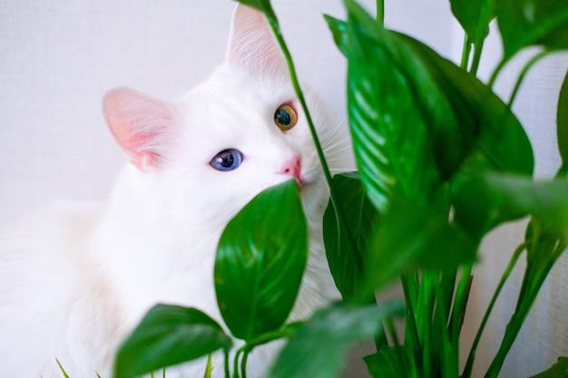 Gatto bianco con occhi di colore diverso si nasconde dietro una pianta verde. l'angora turca mangia le foglie verdi del giglio di pace in salone. animali domestici e piante d'appartamento