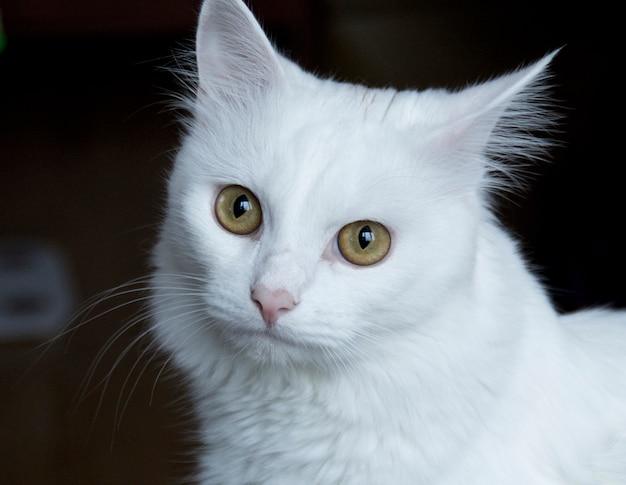 Gatto bianco con occhi giallo-verdi