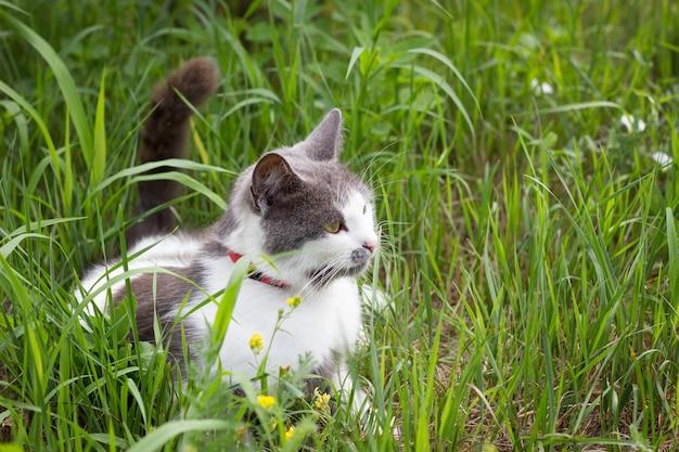 Gatto bianco grigio su erba verde che gioca gatto in estate
