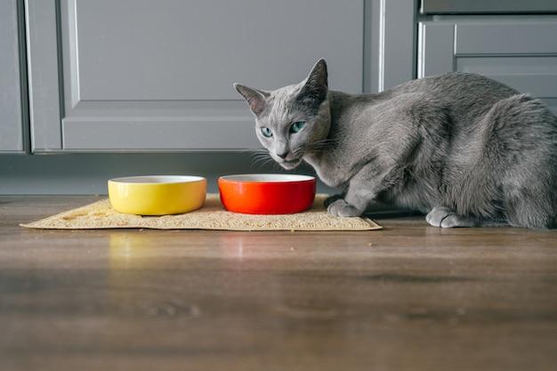 Gatto blu russo con la museruola emozionale espressiva divertente che mangia cibo per gatti su kitechen a casa. ritratto del gattino adorabile di allevamento cenando a casa. pussycat affamato sveglio che mangia sul pavimento
