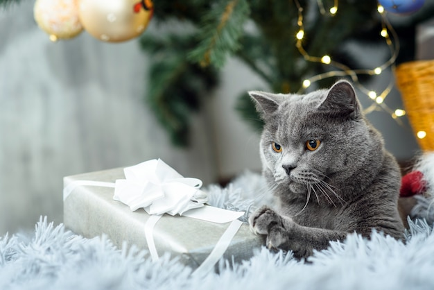 Gatto britannico grigio con regali di natale sul tema vacanze