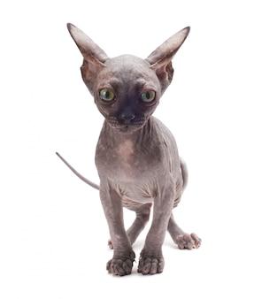 Gatto calvo