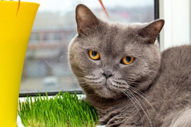 Gatto che mangia erba sul davanzale
