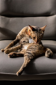 Gatto che pulisce il suo corpo sul divano.