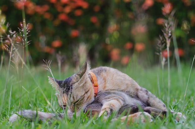 Gatto che pulisce il suo corpo sull'erba.