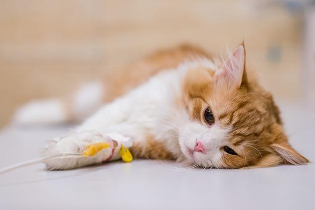Gatto con il contagoccia sulla tavola in clinica veterinaria