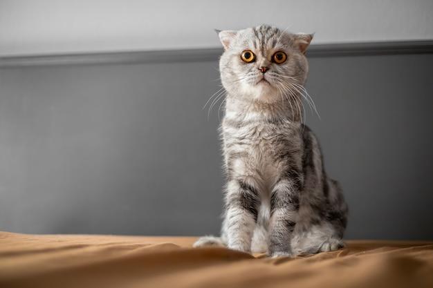 Gatto così carino piega scozzese.