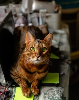 Gatto del bengala che si trova sullo sguardo del computer portatile. lavorare da casa con animali domestici