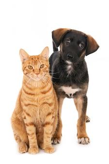 Gatto dello zenzero e cucciolo di cane greco dell'incrocio che posano insieme. isolato su bianco