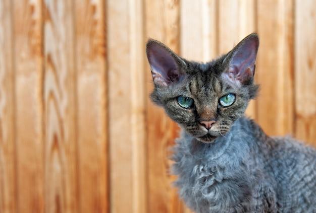 Gatto devon rex del primo piano con gli occhi verdi su un legno.