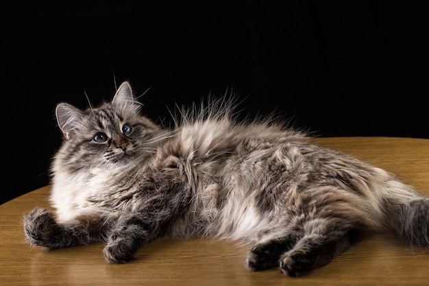 Gatto di bei capelli lunghi che si trova sulla tavola, su fondo nero