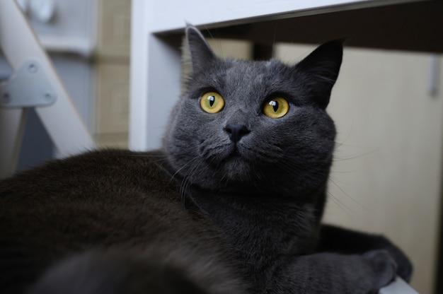 Gatto di colore nero fumoso con brillanti occhi gialli appoggiato sdraiato su una sedia
