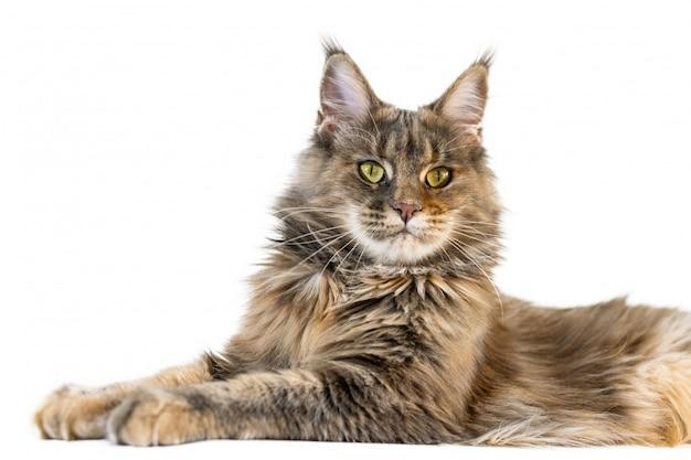 Gatto di coon della maine isolato. gatto maine coon dai lunghi capelli ha un colore di pelliccia di tabby e coda folta.