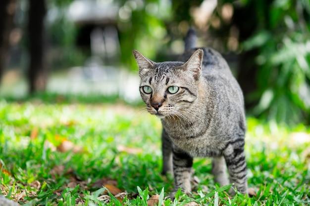 Gatto di soriano che guarda qualcosa su erba nel giardino.