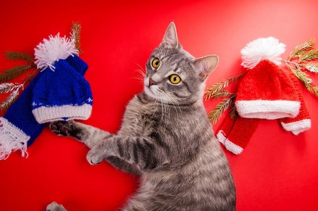 Gatto di soriano grigio che sceglie un'attrezzatura di inverno su fondo rosso. scelta difficile tra cappello e sciarpa rossi e blu.