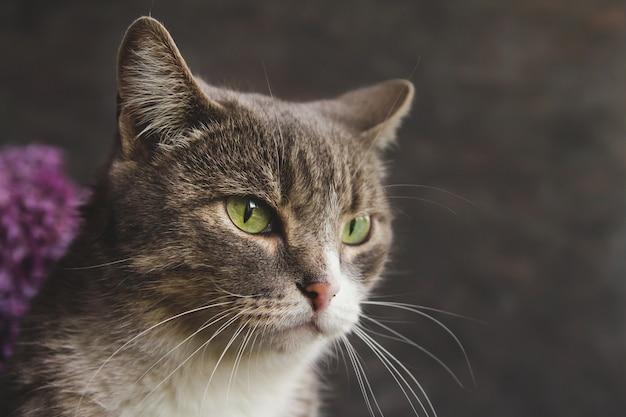 Gatto di tabby grigio con gli occhi verdi su sfondo grigio.