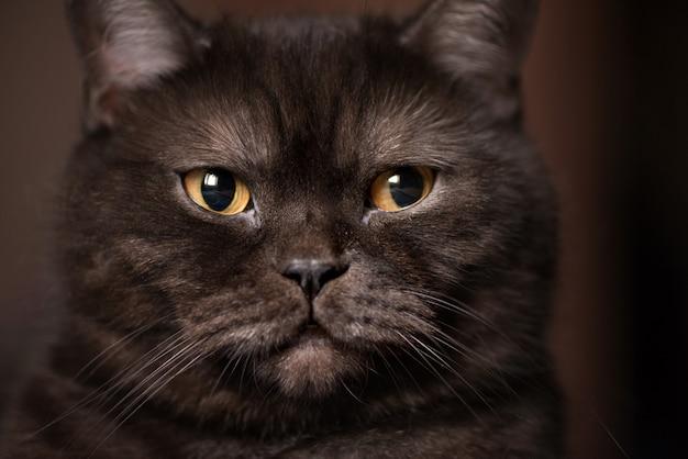 Gatto di tabby nero con gli occhi gialli, guardando la telecamera