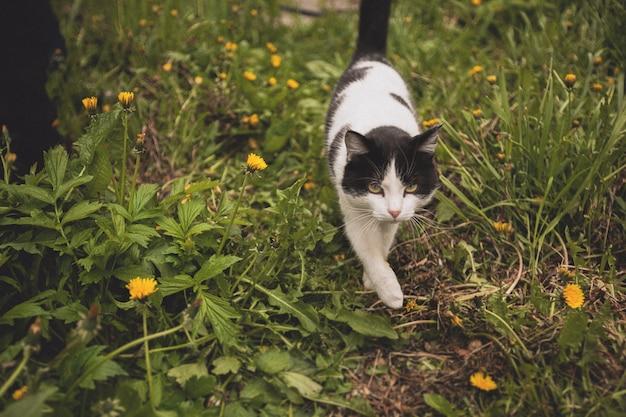 Gatto domestico a passeggio, a caccia nell'erba.