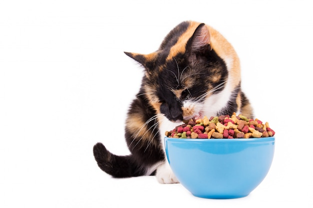 Gatto domestico che mangia alimento dalla ciotola blu