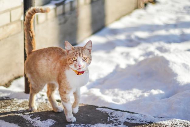 Gatto domestico con un collare rosso fuori di una porta della casa durante le precipitazioni nevose il giorno di inverno soleggiato.