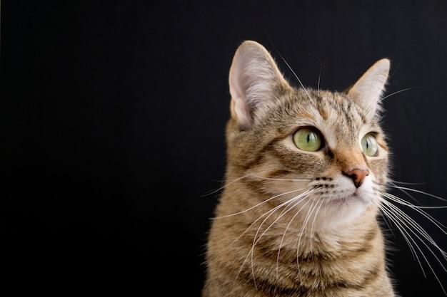 Gatto domestico lanuginoso a strisce su fondo nero.