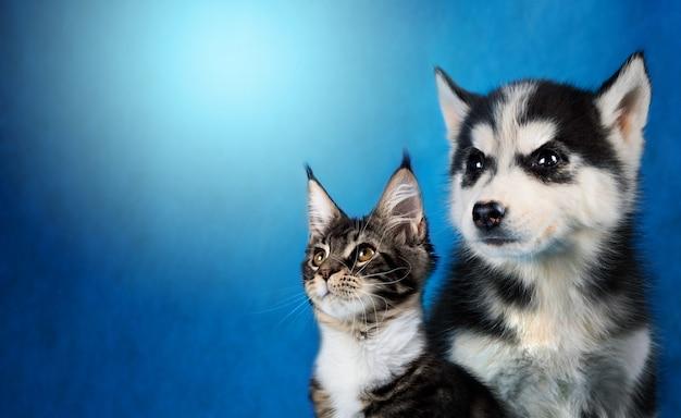 Gatto e cane, maine coon, husky siberiano guarda a sinistra