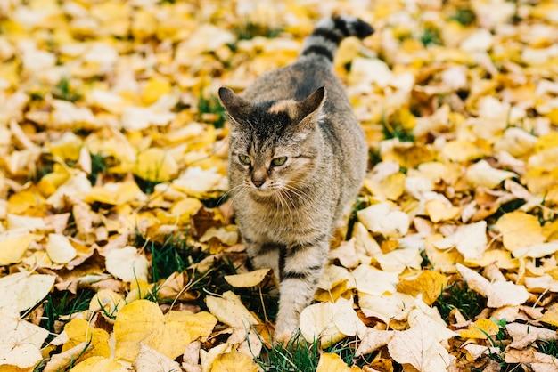 Gatto grasso che cammina sulle foglie di autunno