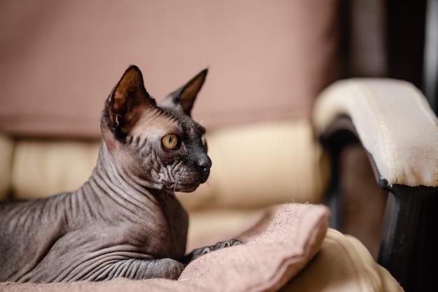 Gatto grigio che si siede in una poltrona. gatto audace sphynx canadese che ha resto.
