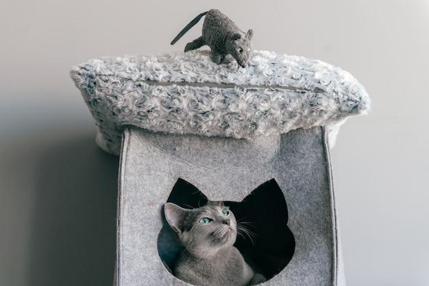 Gatto grigio divertente che gioca con il topo