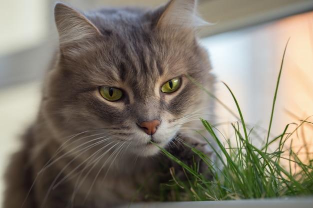 Gatto grigio lanuginoso che mangia erba verde che si siede sulla finestra