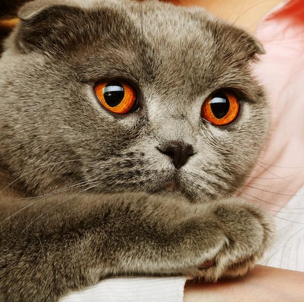 Gatto grigio piega scozzese