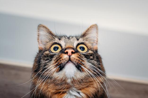Gatto lanuginoso con gli occhi enormi che distolgono lo sguardo, primo piano