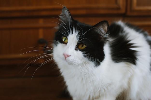 Gatto lanuginoso in bianco e nero